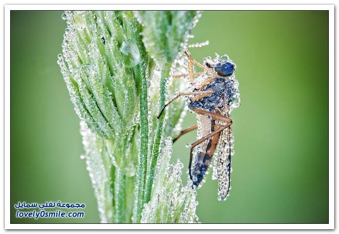 قطرات الندى على الحشرات