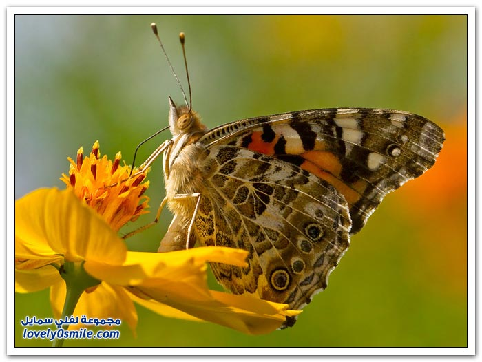 جمال الفراشات