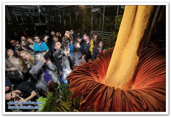 أكبر زهرة في العالم في مدينة بازل السويسرية
