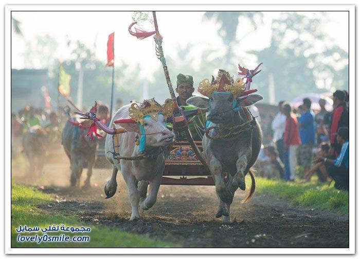 سباق الجواميس في بالي