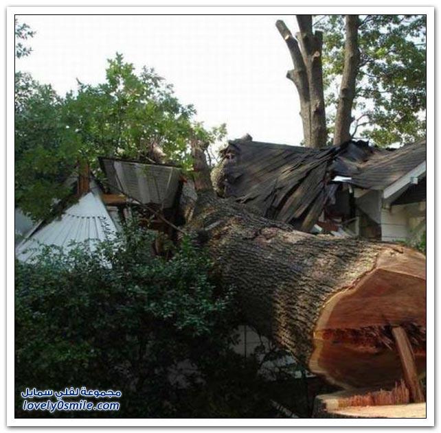 دلاخة وغباء في طريقة قطع شجرة