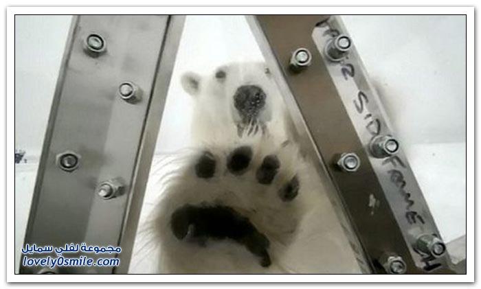 هجوم الدب القطبي