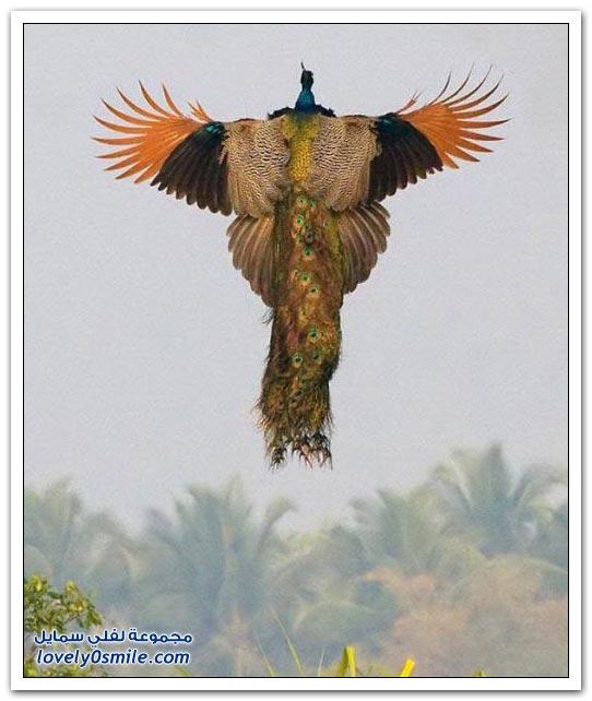 هل شاهدت الطاووس وهو يطير؟