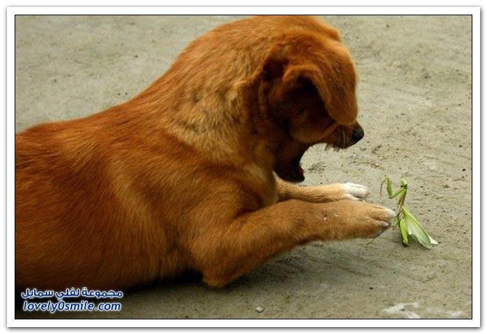 حشرة السرعوف والكلب الجائع