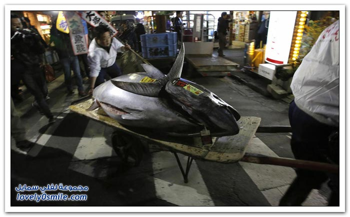 أغلى سمكة تونة في العالم