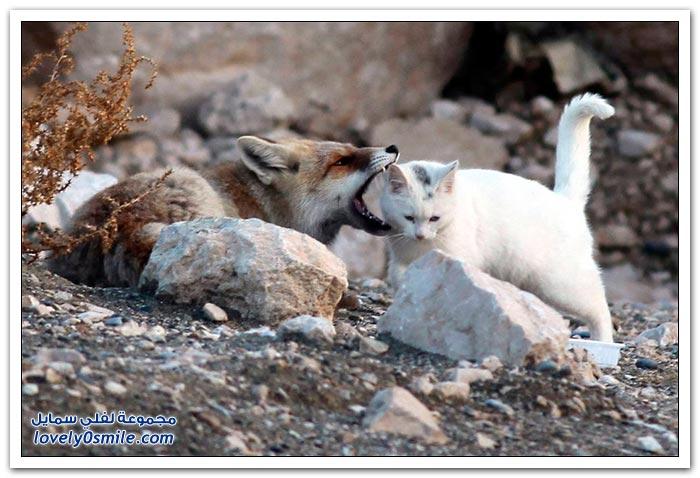 صداقة غريبة بين ثعلب وقط