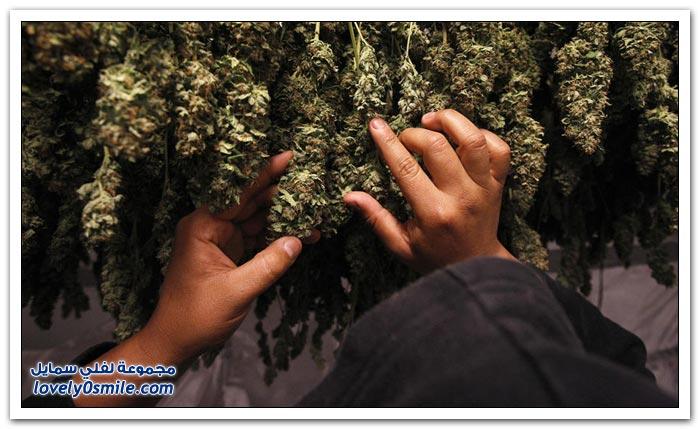 الماريجوانا في ولاية كاليفورنيا