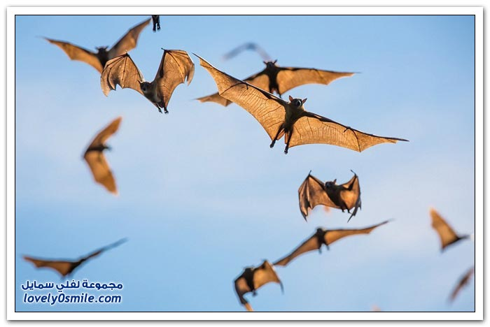 هجرة الملايين من الخفافيش إلى زامبيا