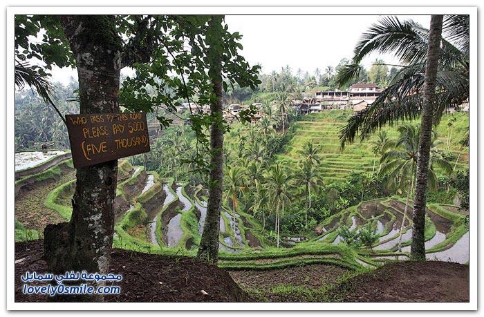 حقول الأرز في جزيرة بالي