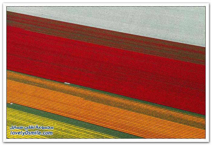 حقول الورد في هولندا