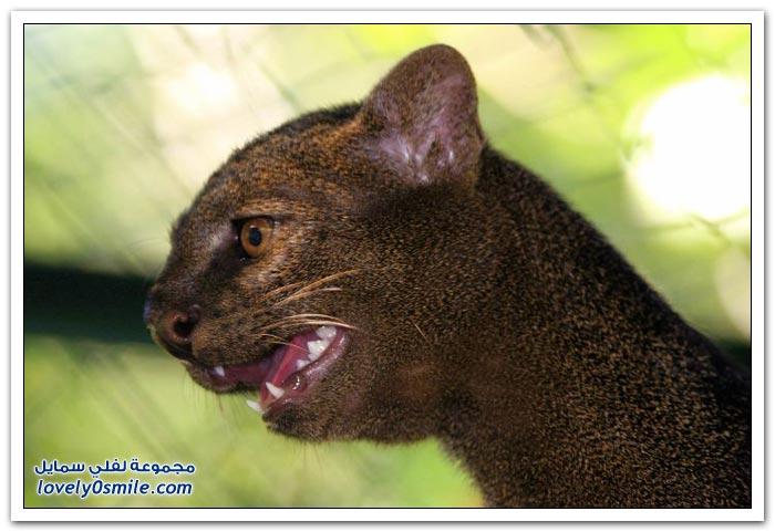 قطط اليغورندي