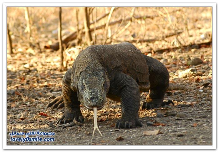 عجائب المخلوقات في حديقة كومودو الوطنية