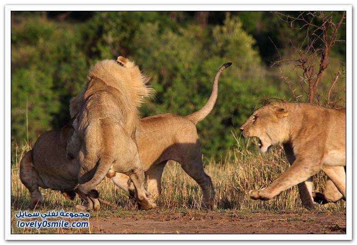 مجموعة من اللبوات يهاجمن أسد