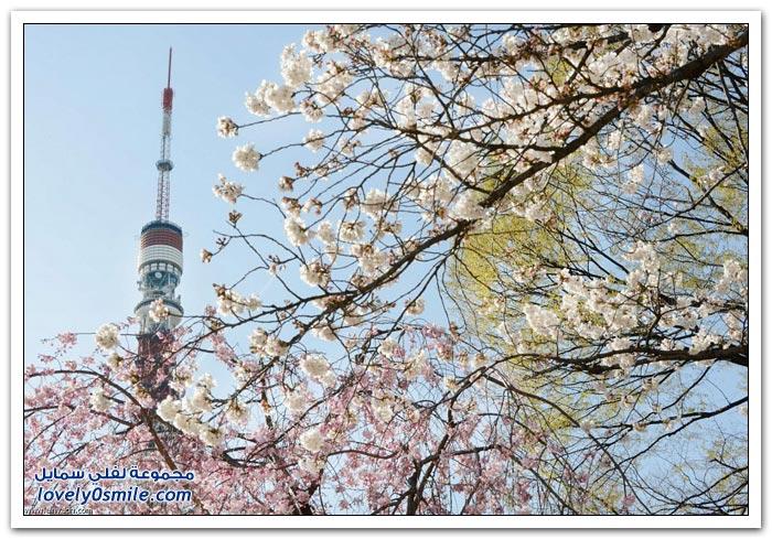 اليابان تستظل بـأشجار الكرز