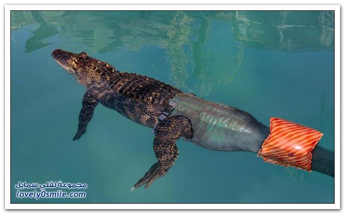 أول تمساح بذيل اصطناعي