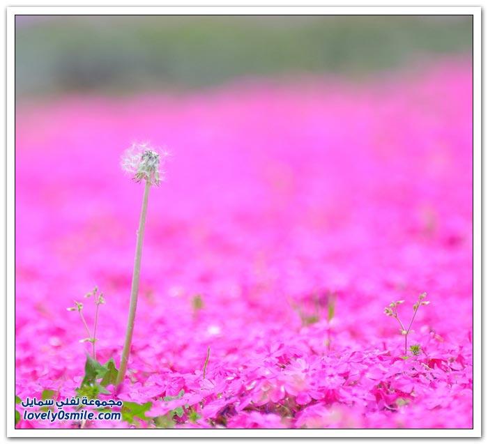 أزهار الكرز العشبية في اليابان