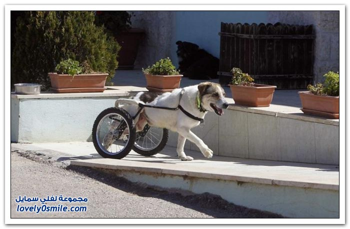 كلب الصيد في الأردن يتغلب على الإعاقة