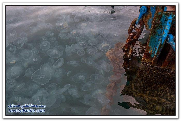 غزو قناديل البحر في مدينة سيفاستوبول الأوكرانية
