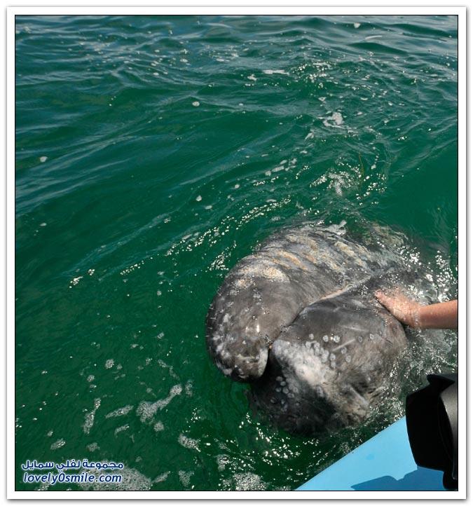 قبلة الحوت قبالة سواحل المكسيك