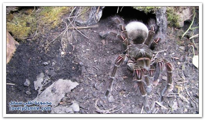 أكبر عنكبوت في العالم