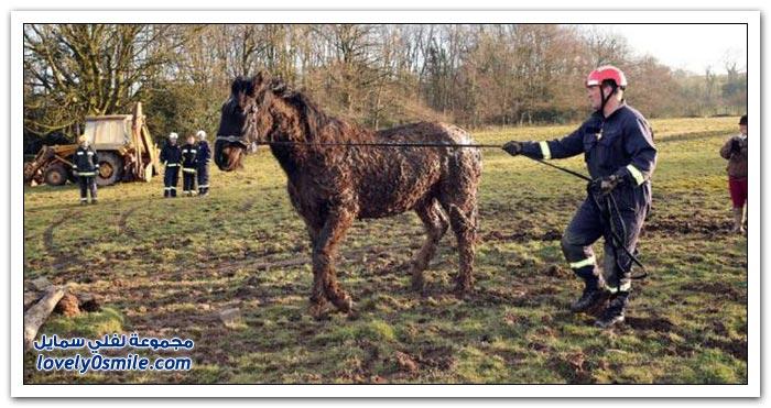 إنقاذ حصان علق في الوحل