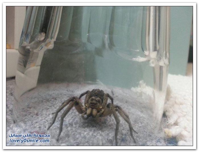العنكبوت وصغاره