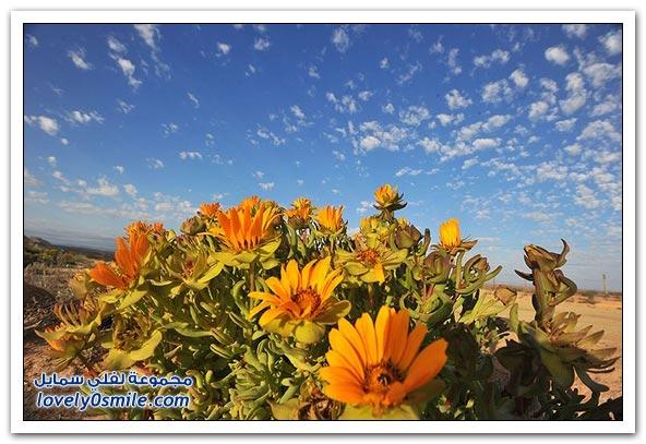 معجزة زهور الربيع بصحراء (ناماكولاند) الجافة
