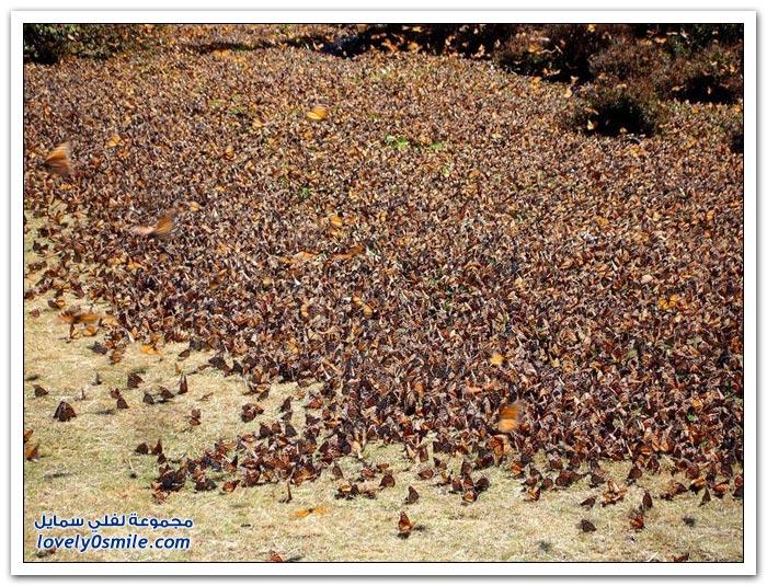 صور هجرة الفراشات