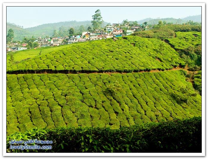 مزارع الشاي في الهند