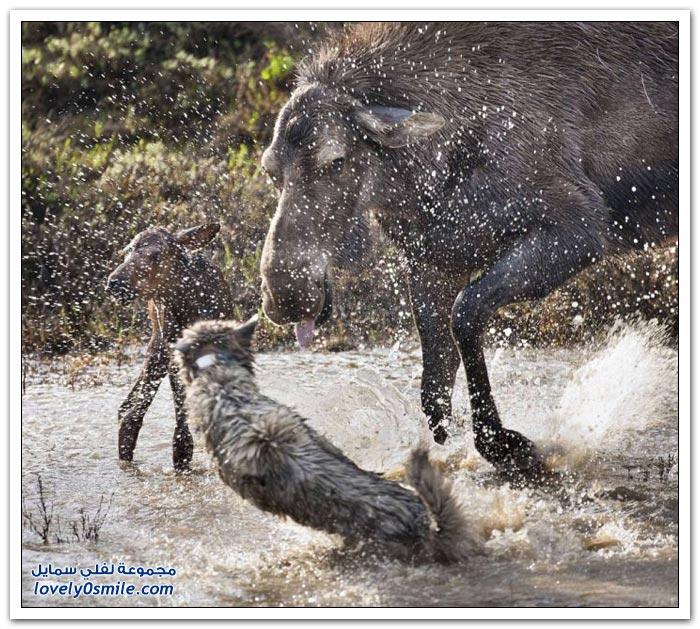 أنثى الموظ تقاتل لإنقاذ رضيعها