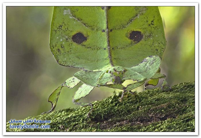 حشرة ورقة الشجر