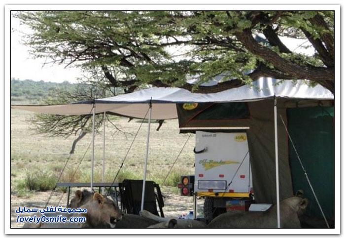 عندما تزور الأسود خيمة السياح
