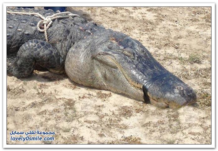 شاب أمريكي يقتل تمساح بالرصاص في ولاية تكساس