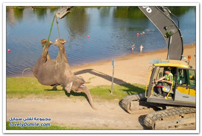 غرق فيل سيرك في استونيا