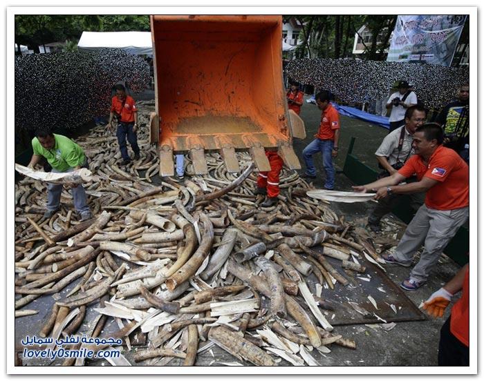 تدمير 5 أطنان من العاج في الفيليبين للمرة الأولى في آسيا