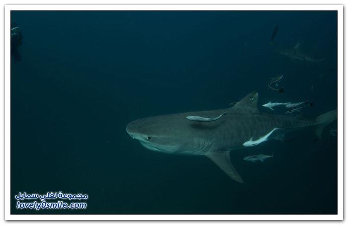 إطعام أسماك القرش جنون في جنوب أفريقيا