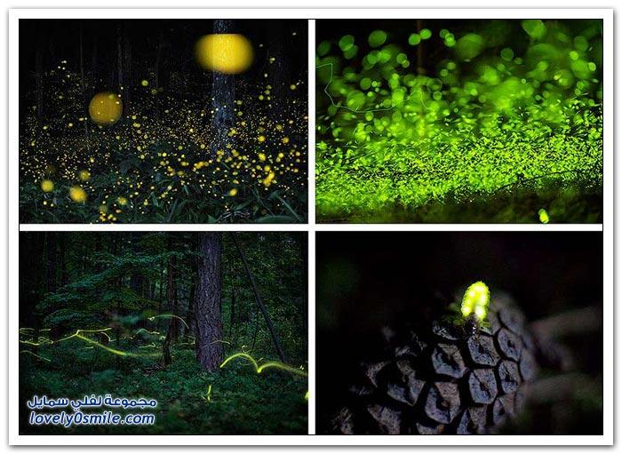ذباب النار في الغابات الرطبة
