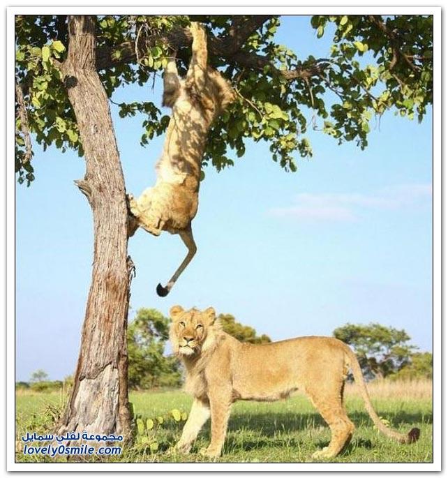 أسدين يلعبان في زيمبابوي