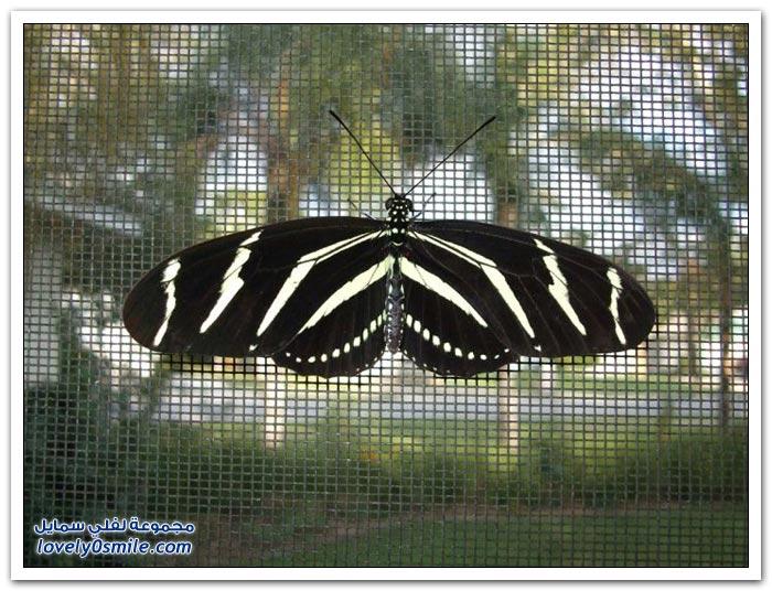 تربية الفراشات في المنزل