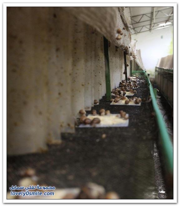 مزرعة الحلزون في كولومبيا