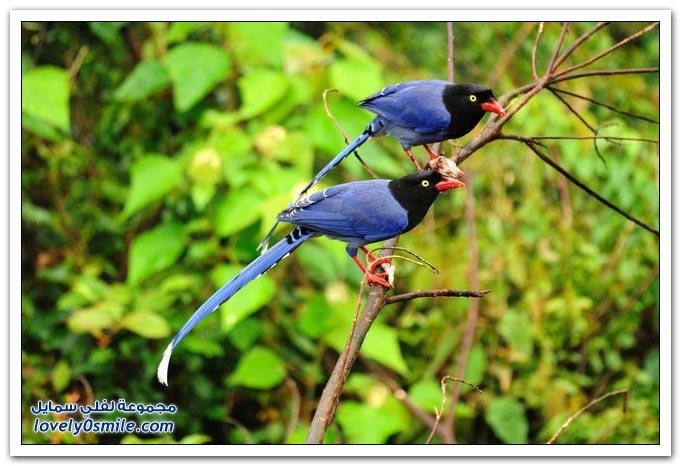 طائر العقعق التايواني