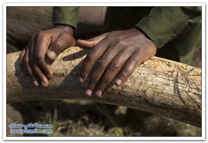 عملية نقل فيل في كينيا
