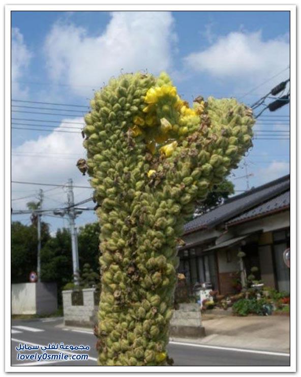 التأثر الجيني للنباتات بسبب كارثة فوكوشيما النووية