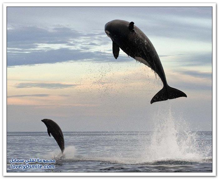 الحوت القاتل يصطاد دولفين