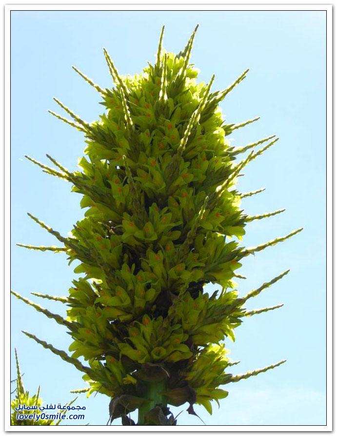 نبتة ملكة الأنديز Puya