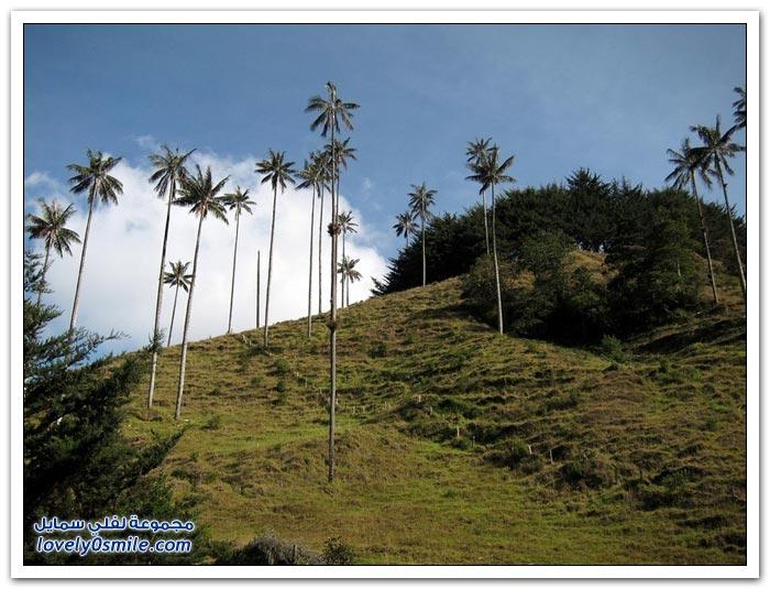 أطول أشجار النخيل في العالم