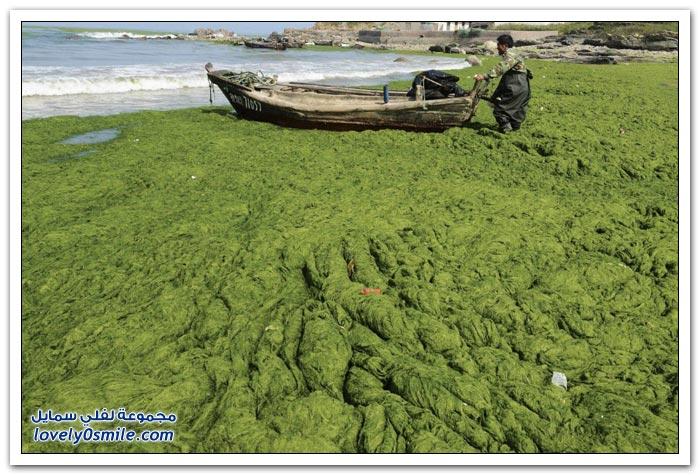 أطنان من الطحالب الخضراء على شواطئ الصين