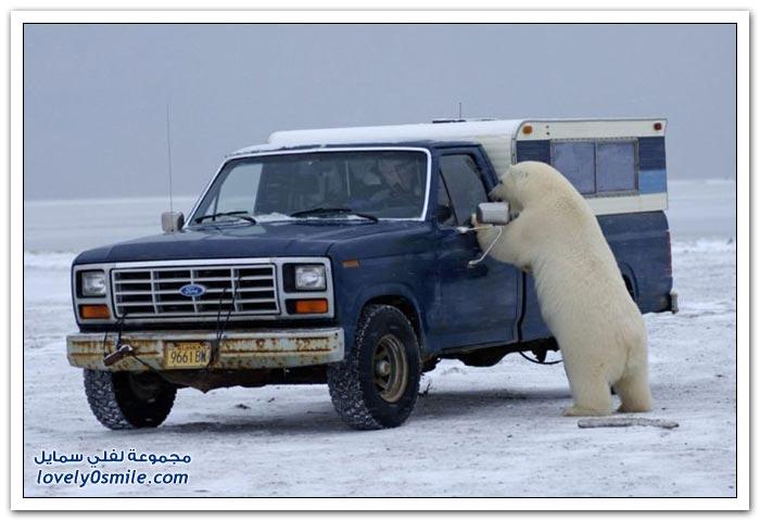 دب في ألاسكا يحاول الهجوم على مصور