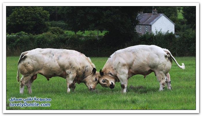 الطفرة الجينية في الأبقار البلجيكية العملاقة
