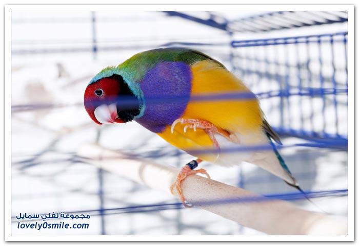 طائر جولد أو جولديان فينش